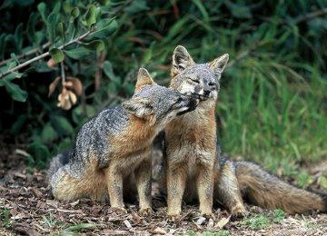 US Delists Rare Island Fox