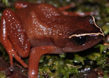 Frog Versus Fungus in Africa
