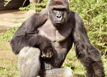 Gorilla Killing in US Prompts Backlash on social media