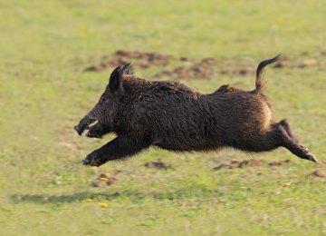 DOE Defends Stance on Wild Boar Hunting