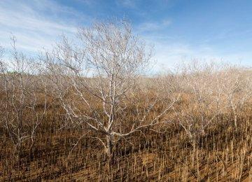 Australian Mangrove Deaths Blamed on Climate Change