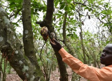 Ivory Coast Cocoa Ravaged by Caterpillar Invasion