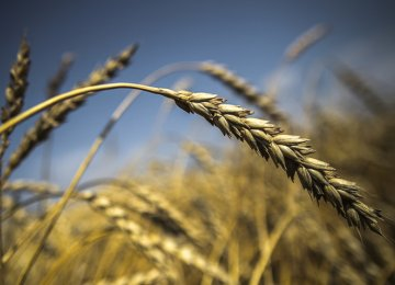 Russia Sees Grain as Main Export Earner