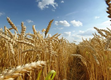 Wheat production since the beginning of the harvest season in late March stands at a record high of 14 million tons.