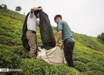Iran Records Rise in Tea Exports