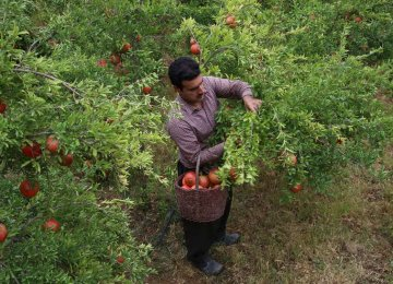 Iran Pomegranate Production Expected to Rise 22%