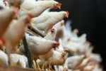 Standardization Key to Boosting Chicken Exports