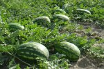 Watermelon Exports  Exceed $100m