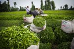 Gov't Buys 4% More Fresh Tea Leaves