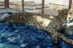 Asiatic Cheetah Cub Dies of  Injuries From Road Crash