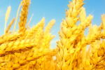 IRICA: Wheat Import Banned