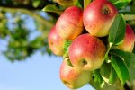 Apple Exports: $87m in 11 Months