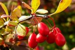 Barberry Exported to 31 Countries