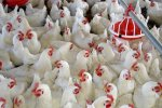 No More Chicken With High Antibiotic Content?
