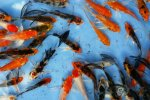 Ornamental Fish Output: 200m in 9 Months