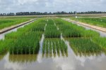 No Change Expected in Domestic Rice Production