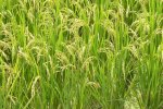 Rice Imports at 760,000 Tons Last Year