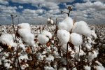 Land Under Cotton Cultivation Increasing