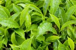Last year, tea production grew by 60% compared with the year before, marking a record high in the last seven years.