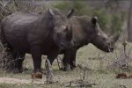 China Looks to S. Africa to Save Rhinos