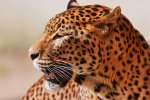 Persian Leopard Insurance Coverage Renewed
