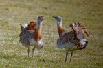 Fewer Than 50 Great Bustards in Iran