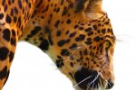 The jaguar is on the endangered species list in US and Mexico.