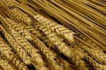 Russia to Regain Wheat Export Leadership