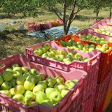 Apple Exports Exceed  600K Tons
