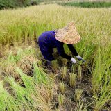 FAO Surveys New Plant Breeding Approach in Iran