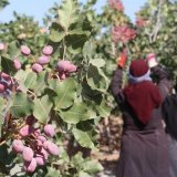 Kerman Pistachio Farmers' Losses Exceed $200m
