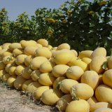Melons Exported to 25 Countries