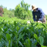 Factories Buy 9,700 Tons of Fresh Tea Leaves