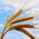 Wheat Output Estimated to Top 13m Tons