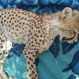 Cheetah Cub Hit by Car