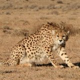 Miandasht Cheetah Refuge Merits Special Attention