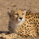 UN Upholds Support for Cheetah Conservation