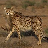 DOE to Exhaust All Possibilities to  Save Asiatic Cheetah From Extinction