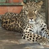 Experts Team Up to  Save Ill Persian Leopard