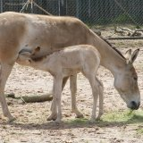 Persian Onager Population Up a Notch