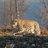 Persian leopard is listed as endangered on the IUCN Red List.