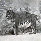 Caspian Tiger's Revival  a Far-Fetched Project