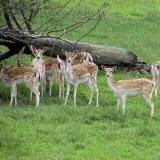 Inevitable inbreeding among the limited number of deer on Ashk Island has decreased genetic variability among the species.