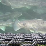 Fish Farming Contract With Norway