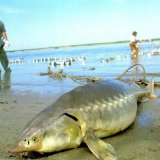 Sturgeon Fishing Ban Extended