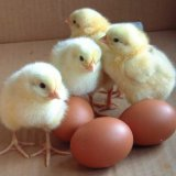 Egg Imports From France Resume