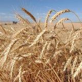 Iran Grain Production Down