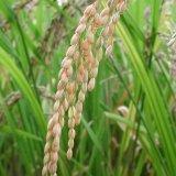 Contraband Rice Seized