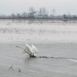 Swans Arrive Early at Sorkhroud Wetlands