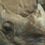 3D Printed Rhino Horn to Save Animal